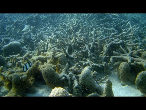 Climate Change is Ravaging Coral Reefs Throughout the World's Oceans
