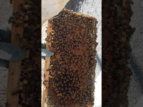 Albinele In 22 Februarie...azi Pun Caturile La Stupii Puternici