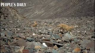Infrared cameras recently spotted over 10 jackals in A national park in NW China's Qinghai Province
