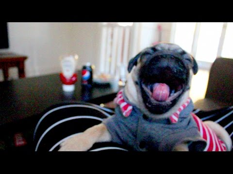 Pug Yawns Twenty Nine Times And Now We're All About To Fall Asleep