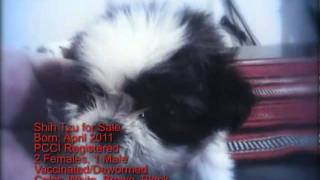 Shih Tzu For Sale Pque P8500 W/ Papers Birth Apr 2011