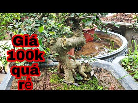 Báo giá một số cây bonsai giá rẻ tại vườn giá từ 100-500k tại vườn