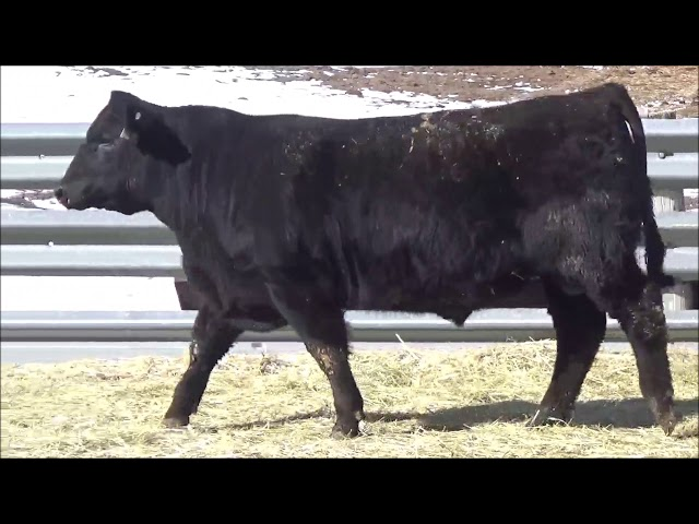 Connealy Angus Lot 363