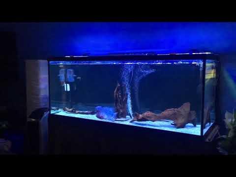 Flowerhorn fish tank - videopretty com
