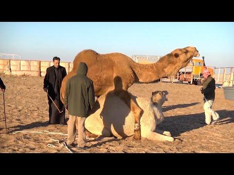 El camello, animal de compañía kuwaití