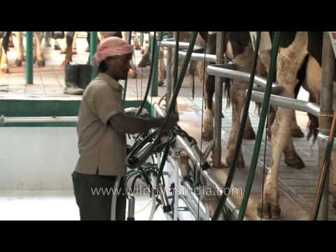 Cattle milking parlour in Punjab, India