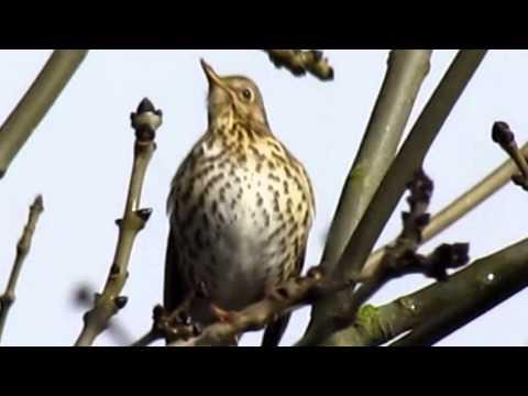Song Thrush (Turdus philomelos) Singing in Speen