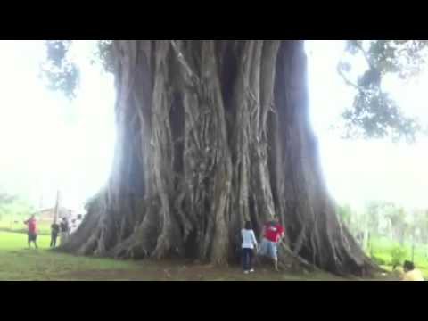 oldest tree at canlaon city