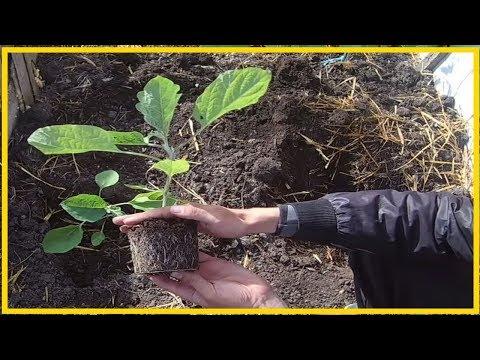 Как вырастить крепкую рассаду баклажан / Тонкости выращивания рассады баклажан