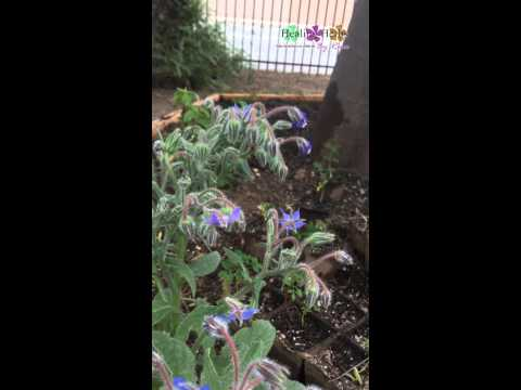 Growing Borage Herb, Bees Love the flowers!