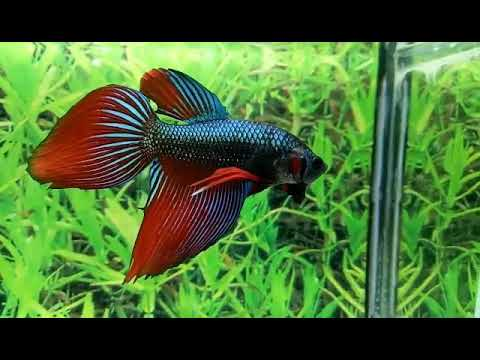 Betta Fish Ikan Cupang Hias Veiltail