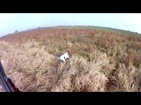 Hunting pheasant with English Pointer 2