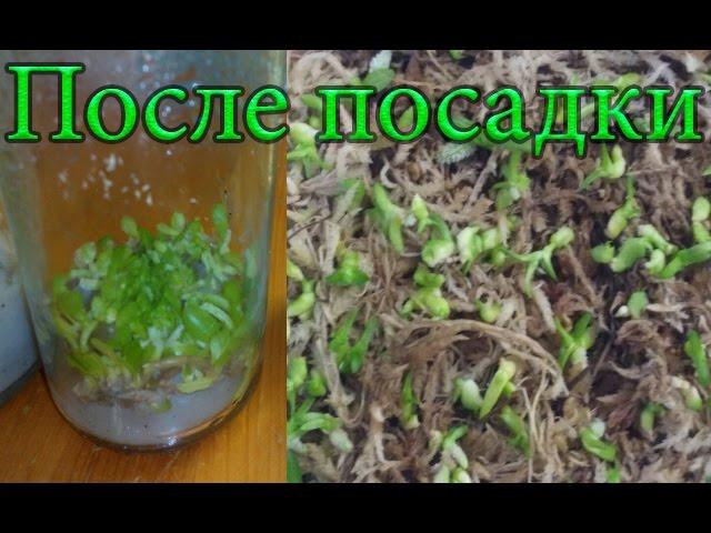 Семена Орхидей после посадки. Результат что получилось.