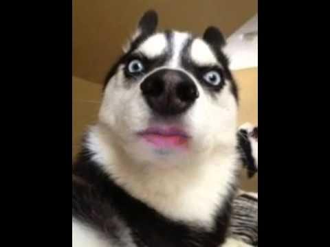 angry husky puppy - photo #4