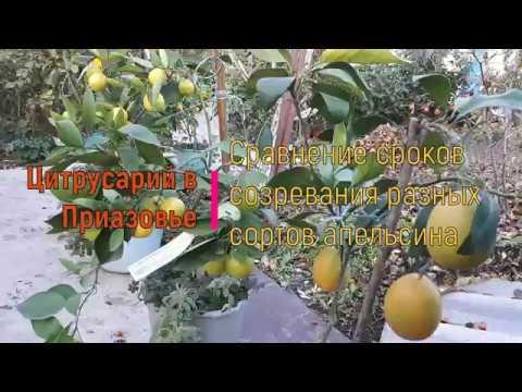 Сравнение сроков созревания сортов апельсина