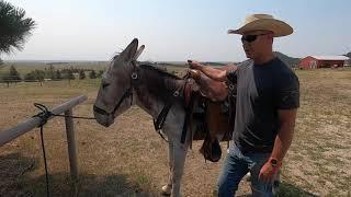 Donkey Saddle Traing Part 1