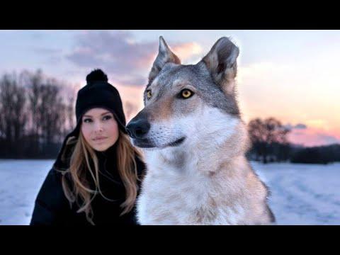 CZECHOSLOVAKIAN WOLFDOG - The Ultimate Guide