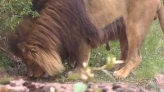 Löwe frisst Gras
