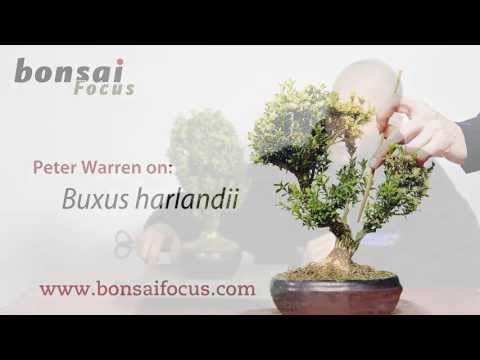 Peter Warren on Buxus harlandi