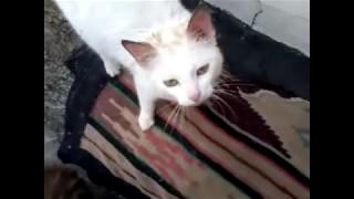 у  моего  кота Зефирки   заболели   уши