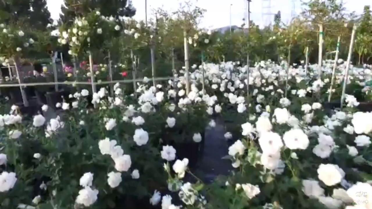 Iceberg Rose 5 Gal (White Rose) - YouTube