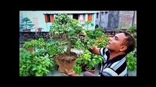 how to make new bonsai shapes jade tree specific bonsai care guidelines for the jade