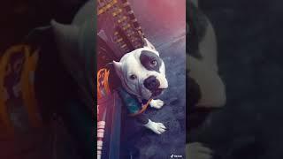 Adorable American bully dog   oscar   pitbull   pittbull   American bully micro   Rattu fitness