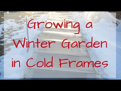 Winter Gardening In A Cold Frame