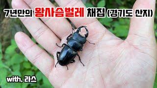 왕사슴벌레 채집기 (경기도 산지)…