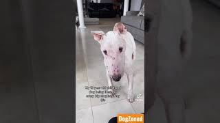15 Year Old Bull Terrier Chance Always there for his human Alicia!