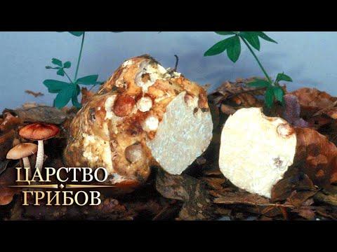 Белый трюфель. Царство грибов @Моя Планета