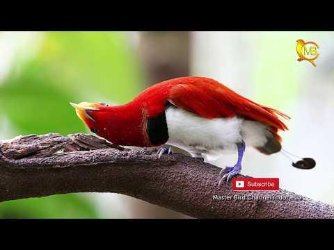 BURUNG-BURUNG CANTIK DARI INDONESIA TIMUR