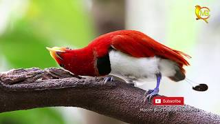 Video BURUNG-BURUNG CANTIK DARI INDONESIA TIMUR download MP3, 3GP, MP4, WEBM, AVI, FLV September 2018
