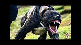 ВОТ КАК ВЫГЛЯДИТ САМАЯ ОПАСНАЯ СОБАКА В МИРЕ  HOW LOOKS ARE THE DANGEROUS DOG IN THE WORLD