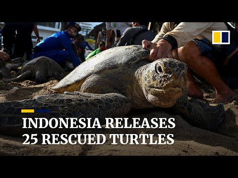 Indonesia releases 25 green sea turtles rescued from illegal traffickers