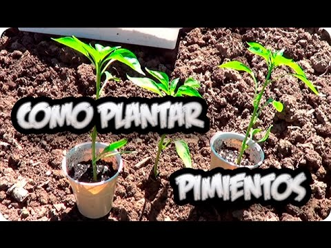 C mo cultivar pimientos doovi for Cultivo pimiento huerto urbano