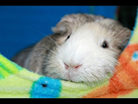 My 7 Guinea Pigs & Bunny Cage Tours/Updates