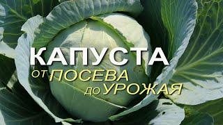 Основные этапы выращивания КАПУСТЫ от посева до урожая Советы от ЗЕЛЕНОГО ОГОРОДА