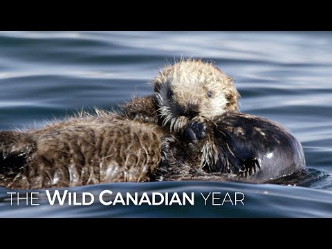 Adorable Sea Otters Frolic As Filmmaker Takes Cover | Wild Canadian Year