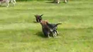 Border Terrier Puppies Running