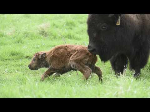 Baby Bison at Fermilab