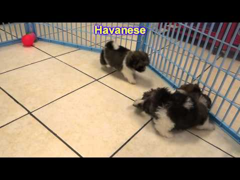 Havanese , Puppies, For, Sale, In, East Honolulu, Hawaii, HI, Makaha, Pukalani, Haiku Pauwela, Maili
