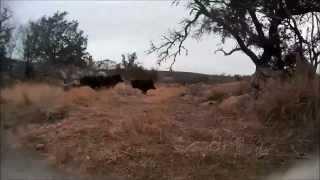 Hog Dog Head Cam - Hunting Wild Pigs