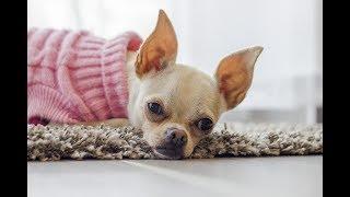 Cães para contusões remédios caseiros em