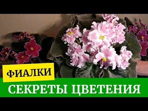 Как получить пышное цветение. Фиалки (Сенполии). Уход за фиалками в домашних условиях