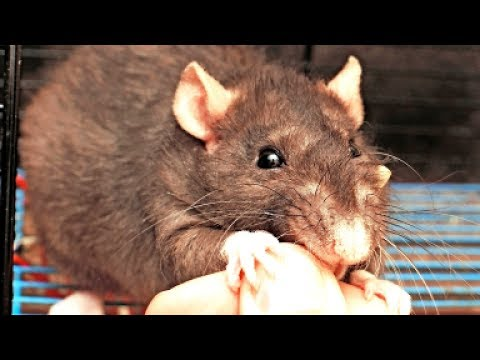 Почему крысы кусаются?