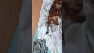 Бенгальский котёнок 11 месяцев. Вес 5,8 кг.