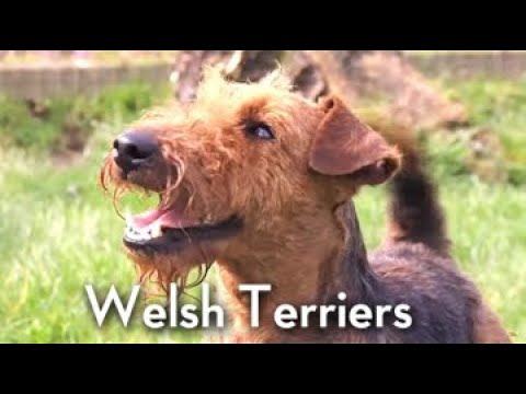 The Welsh Terrier - Bests of Breed