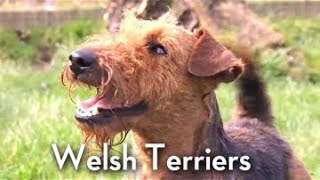 The Welsh Terrier  Bests of Breed