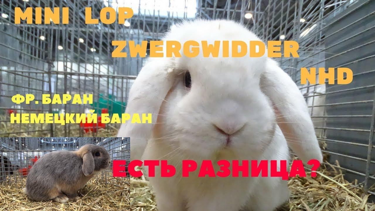 Декоративные вислоухие кролики (бараны). Питомник